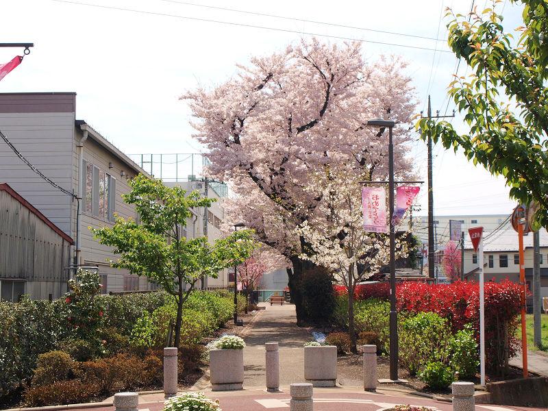 桜の季節は近場で桜を見よう!座間市相模が丘「仲よし小道」編